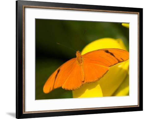 Orange Julia Longwing Butterfly, Brookside Gardens, Wheaton, Maryland, USA-Corey Hilz-Framed Art Print