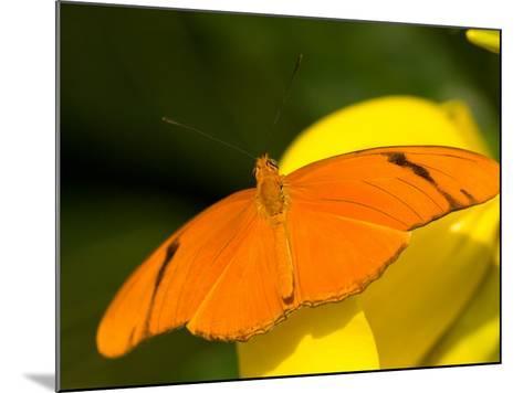 Orange Julia Longwing Butterfly, Brookside Gardens, Wheaton, Maryland, USA-Corey Hilz-Mounted Photographic Print