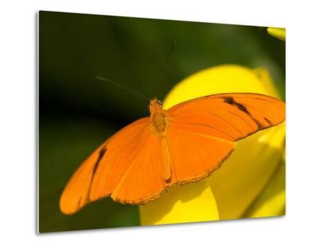 Orange Julia Longwing Butterfly, Brookside Gardens, Wheaton, Maryland, USA-Corey Hilz-Metal Print
