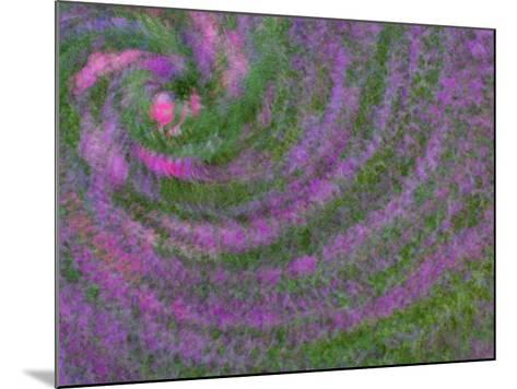 Multiple Exposure Swirl of Purple Petunias, Arlington, Virginia, USA-Corey Hilz-Mounted Photographic Print