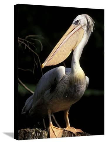 Brown Pelican, Brazil-Gavriel Jecan-Stretched Canvas Print