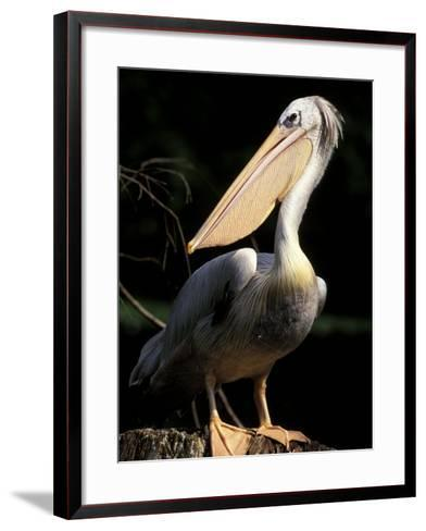 Brown Pelican, Brazil-Gavriel Jecan-Framed Art Print