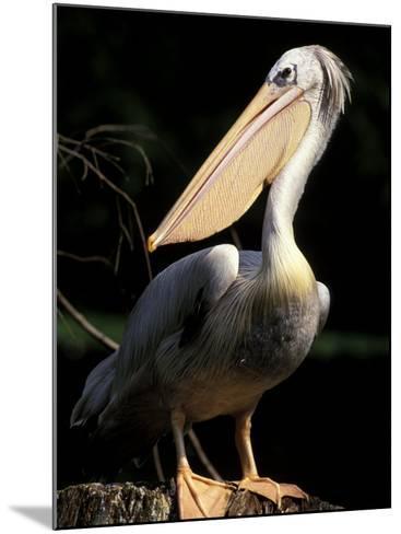 Brown Pelican, Brazil-Gavriel Jecan-Mounted Photographic Print