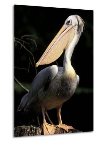 Brown Pelican, Brazil-Gavriel Jecan-Metal Print
