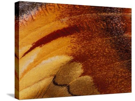 Butterfly Wing Detail-Gavriel Jecan-Stretched Canvas Print