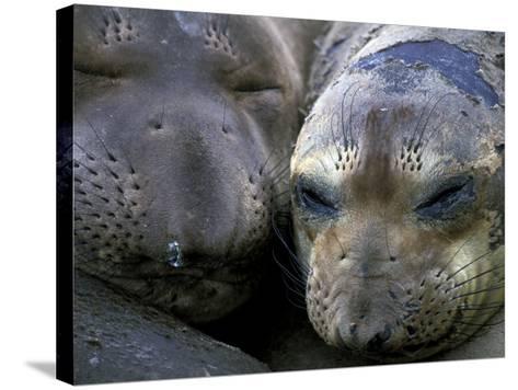 Northern Elephant Seals, Big Sur Coast, California, USA-Gavriel Jecan-Stretched Canvas Print