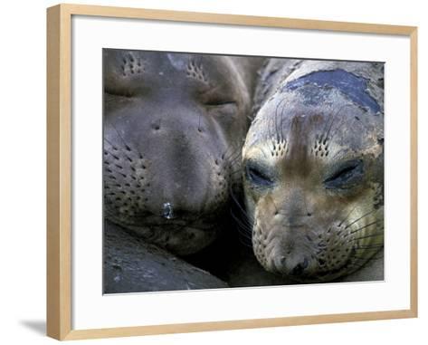 Northern Elephant Seals, Big Sur Coast, California, USA-Gavriel Jecan-Framed Art Print
