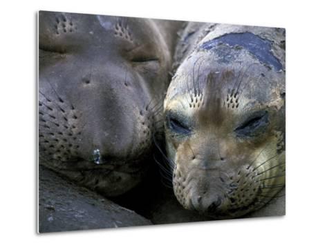 Northern Elephant Seals, Big Sur Coast, California, USA-Gavriel Jecan-Metal Print