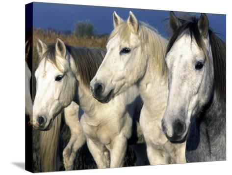 Camargue Horses, Ile Del La Camargue, France-Gavriel Jecan-Stretched Canvas Print