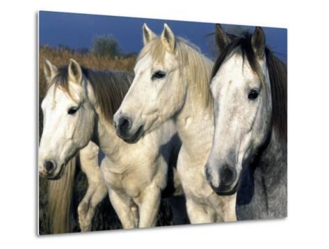 Camargue Horses, Ile Del La Camargue, France-Gavriel Jecan-Metal Print