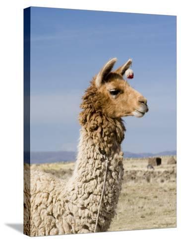 Llama Posing near Puno, Peru-Diane Johnson-Stretched Canvas Print