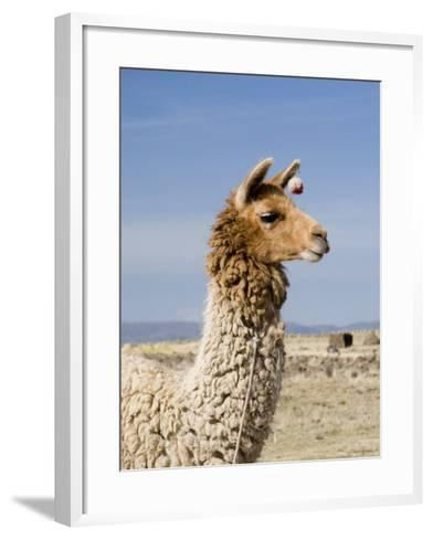 Llama Posing near Puno, Peru-Diane Johnson-Framed Art Print