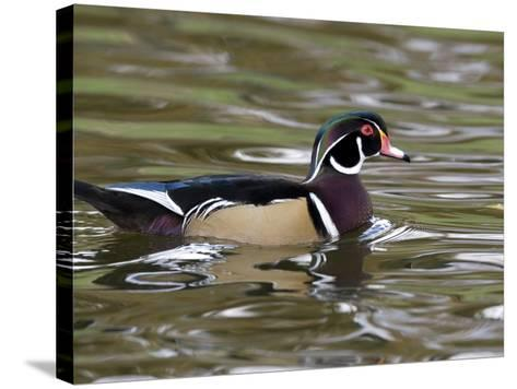 Wood Duck at Santee Lakes, San Diego County, California, USA-Diane Johnson-Stretched Canvas Print