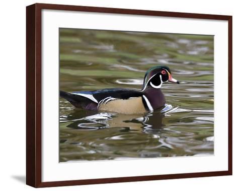 Wood Duck at Santee Lakes, San Diego County, California, USA-Diane Johnson-Framed Art Print