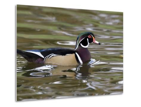 Wood Duck at Santee Lakes, San Diego County, California, USA-Diane Johnson-Metal Print