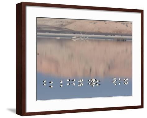 American Avocet, Salton Sea Area, Imperial County, California, USA-Diane Johnson-Framed Art Print