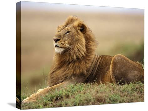 Adult male lion on termite mound-Adam Jones-Stretched Canvas Print