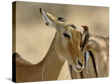 Female Impala with Red-billed Oxpecker, Samburu Game Reserve, Kenya-Adam Jones-Stretched Canvas Print