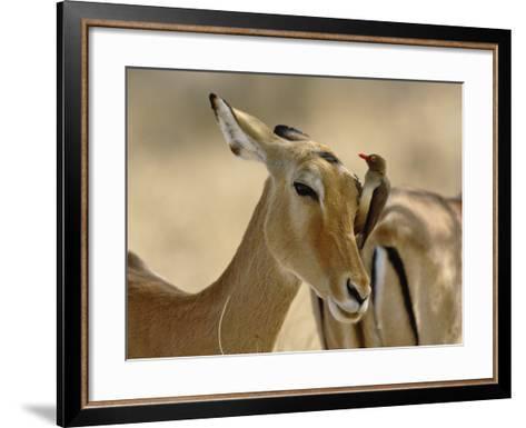 Female Impala with Red-billed Oxpecker, Samburu Game Reserve, Kenya-Adam Jones-Framed Art Print