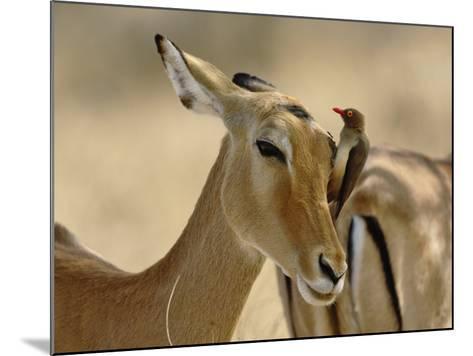 Female Impala with Red-billed Oxpecker, Samburu Game Reserve, Kenya-Adam Jones-Mounted Photographic Print