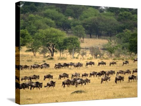 Massive Wildebeest herd during migration, Serengeti National Park, Tanzania-Adam Jones-Stretched Canvas Print