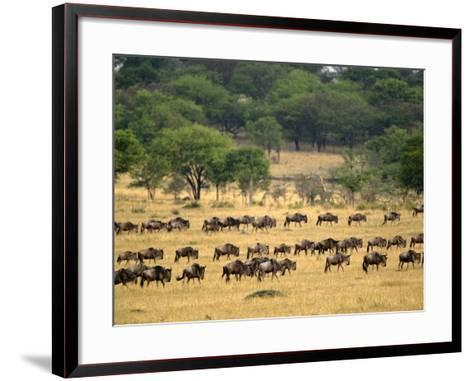 Massive Wildebeest herd during migration, Serengeti National Park, Tanzania-Adam Jones-Framed Art Print