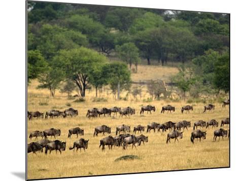 Massive Wildebeest herd during migration, Serengeti National Park, Tanzania-Adam Jones-Mounted Photographic Print