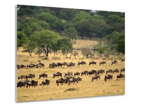 Massive Wildebeest herd during migration, Serengeti National Park, Tanzania-Adam Jones-Metal Print