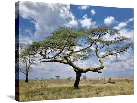 Umbrella Thorn Acacia, Serengeti National Park, Tanzania-Adam Jones-Stretched Canvas Print