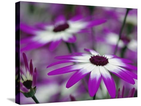 Close-up of purple flower, Keukenhof Garden, Lisse, Netherlands, Holland-Adam Jones-Stretched Canvas Print