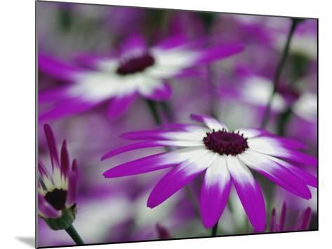 Close-up of purple flower, Keukenhof Garden, Lisse, Netherlands, Holland-Adam Jones-Mounted Photographic Print