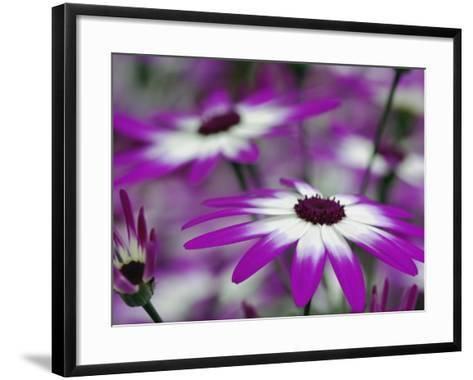 Close-up of purple flower, Keukenhof Garden, Lisse, Netherlands, Holland-Adam Jones-Framed Art Print