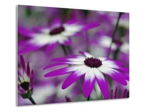 Close-up of purple flower, Keukenhof Garden, Lisse, Netherlands, Holland-Adam Jones-Metal Print