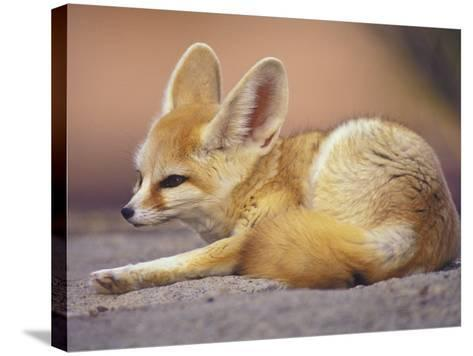 Fennec, North Africa-Adam Jones-Stretched Canvas Print