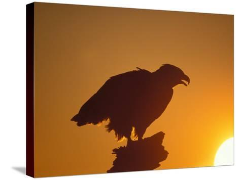 Bald Eagle Silhouette at Sunset, Kachemak Bay, Alaska, USA-Steve Kazlowski-Stretched Canvas Print
