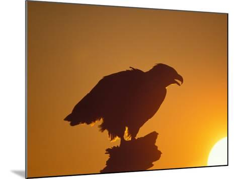 Bald Eagle Silhouette at Sunset, Kachemak Bay, Alaska, USA-Steve Kazlowski-Mounted Photographic Print