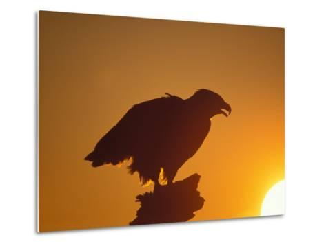 Bald Eagle Silhouette at Sunset, Kachemak Bay, Alaska, USA-Steve Kazlowski-Metal Print