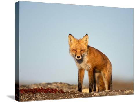 Red Fox, North Slope of Brooks Range, Alaska, USA-Steve Kazlowski-Stretched Canvas Print