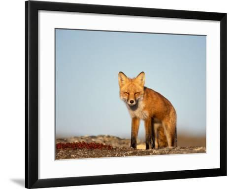 Red Fox, North Slope of Brooks Range, Alaska, USA-Steve Kazlowski-Framed Art Print