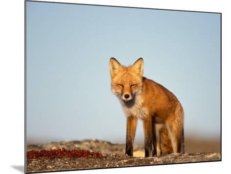 Red Fox, North Slope of Brooks Range, Alaska, USA-Steve Kazlowski-Mounted Photographic Print