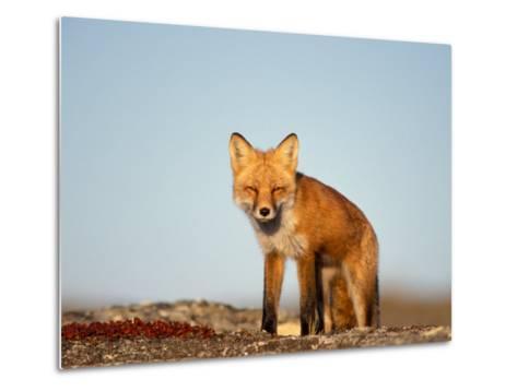 Red Fox, North Slope of Brooks Range, Alaska, USA-Steve Kazlowski-Metal Print