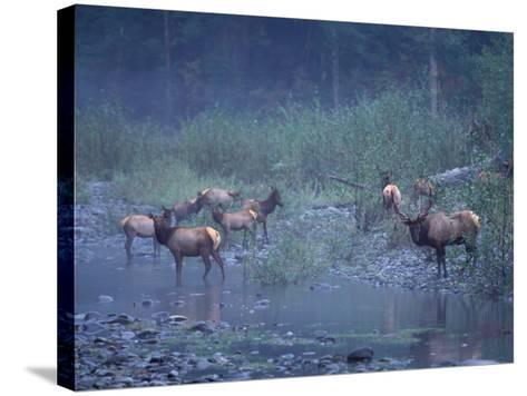 Roosevelt Elk Herd, Olympic National Park, Washington, USA-Steve Kazlowski-Stretched Canvas Print