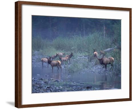 Roosevelt Elk Herd, Olympic National Park, Washington, USA-Steve Kazlowski-Framed Art Print