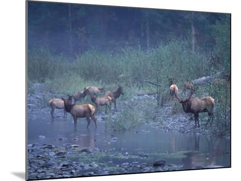 Roosevelt Elk Herd, Olympic National Park, Washington, USA-Steve Kazlowski-Mounted Photographic Print
