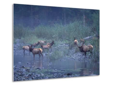Roosevelt Elk Herd, Olympic National Park, Washington, USA-Steve Kazlowski-Metal Print