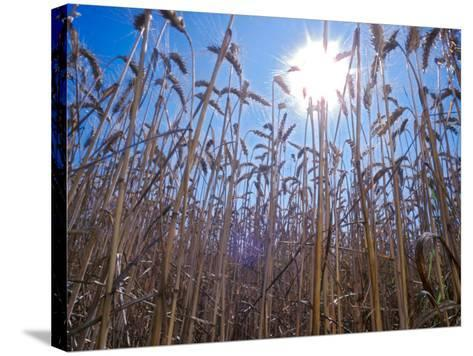 Wheat with direct sunshine-Janis Miglavs-Stretched Canvas Print