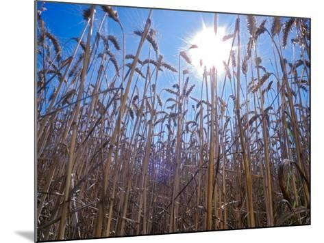 Wheat with direct sunshine-Janis Miglavs-Mounted Photographic Print