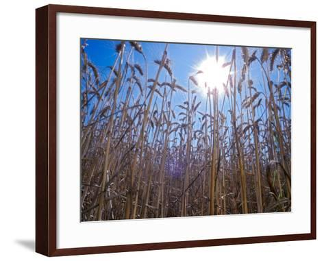 Wheat with direct sunshine-Janis Miglavs-Framed Art Print