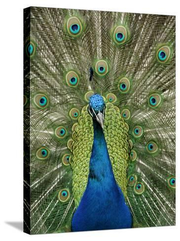 Peacock on Castle Grounds, Cardiff Castle, Wales-Cindy Miller Hopkins-Stretched Canvas Print