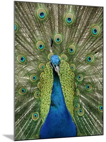 Peacock on Castle Grounds, Cardiff Castle, Wales-Cindy Miller Hopkins-Mounted Photographic Print